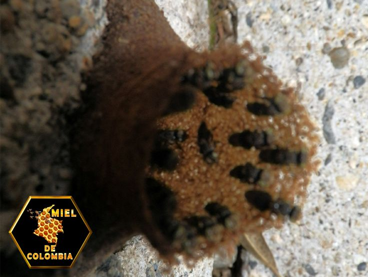A la colonización de América, los amerindios practicaban en Mesoamérica la cría de especies autóctonas de abejas melipónidas, denominada meliponicultura (para distinguirla de la más frecuente apicultura, reservada para la cría de especies del género Apis).  La producción de miel de las meliponas es baja si la comparamos con la de Apis mellifera. Hace poco se ha dado comienzo a una meliponicultura racional.