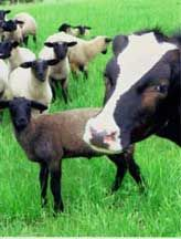 www.eatwild.com. This website has a lot of great resources for supporting local farms that raised grass-fed/pastured beef, pork, and free-range chickens.