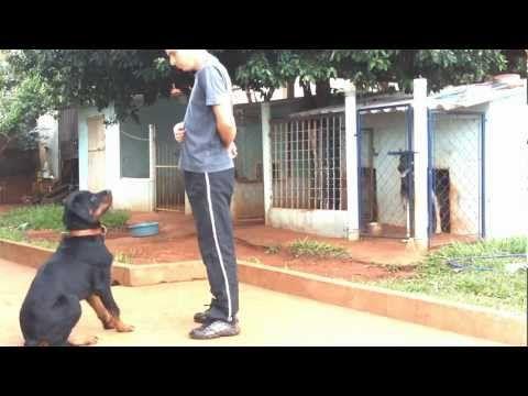 Adestramento Rottweiler Mike - 1° Mês - YouTube