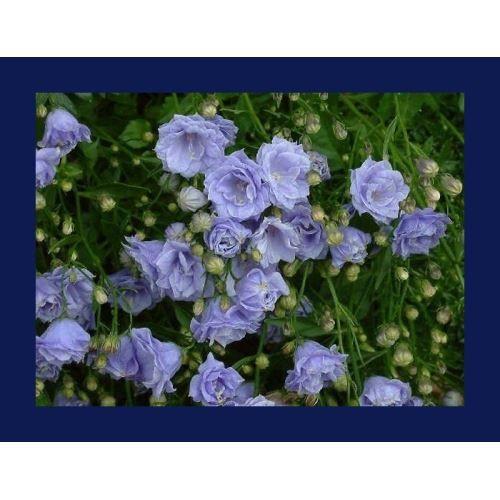 Zenfidan +-150 Adet Çan Çiçeği Tohumu Paketli