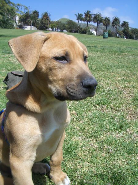 rhodesian ridgeback lab mix puppy
