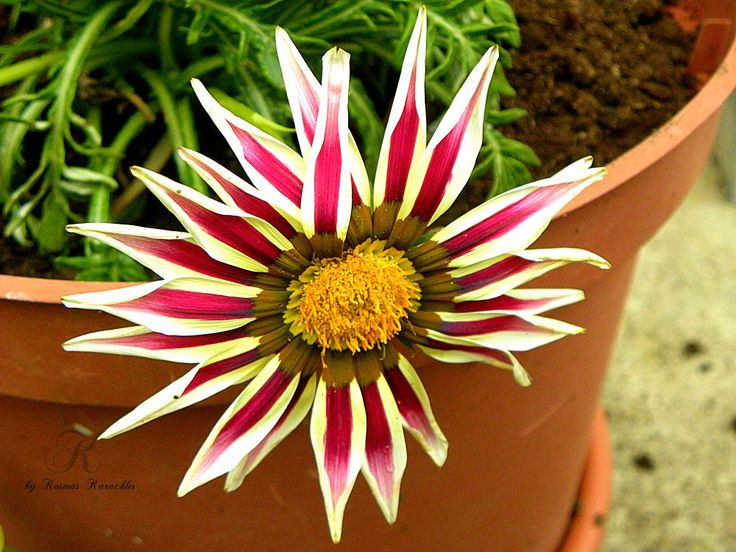 the buty flower by kxkosmas