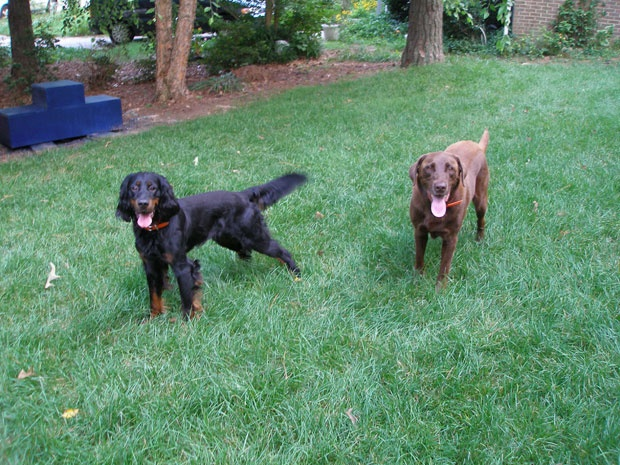 From left Peat, a Gordon setter, and Toby, a chocolate