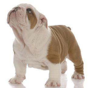 A mini bulldog... Goodness. Now I want a mini piggy and a mini bulldog!!! :)