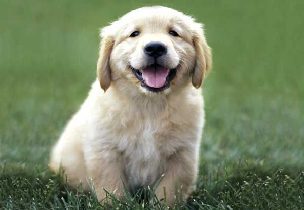 Golden Retrievers are the cutest things ever! Look at that smile! :)  -Michelle O. 7B