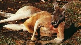 How to Make a Kangaroo costume