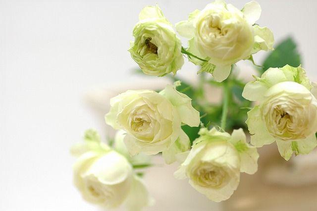 Rose スプレ- ホワイトマカロン 白 花の出回り時期:通年 花言葉:私はあなたにふさわしい・愛の吐息・純潔・私はあなたを尊敬