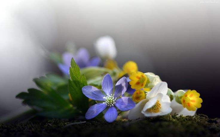 Bukiet, Kwiatów, Przylaszczka, Zawilec, Pierwiosnek
