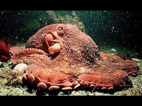 animals octopus national geographic - photo #17