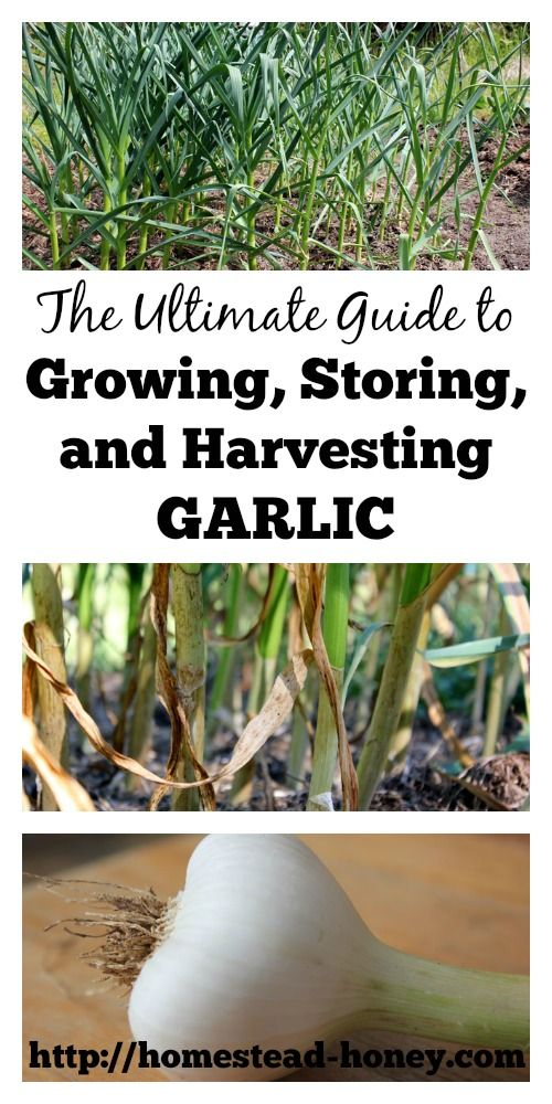 Garlic is not only an incredible culinary and medicinal plant, but is also incredibly easy to grow in your home garden!  In this post, you'll find all that you need to know about growing, harvesting, and storing garlic.  Homestead Honey | http://homestead-honey.com
