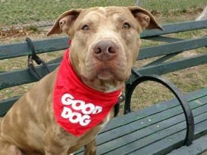 BUSTA is an adoptable Pit Bull Terrier Dog in New York, NY. A volunteer writes: Can this boy be any more handsome? He stands quietly at the front of his kennel, tail wagging at me as he sees me come c...