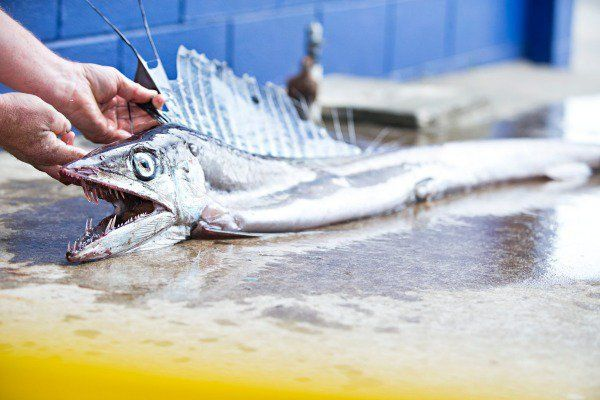 Extremely rare lancetfish found out of its depth on New Plymouth shore