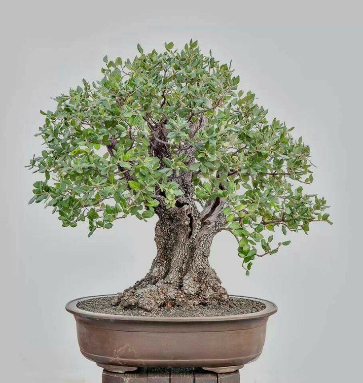 Encina bonsai