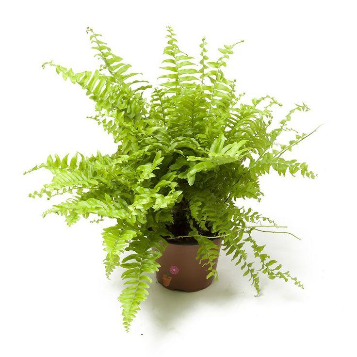 Felce - Come scegliere pianta da bagno poca luce