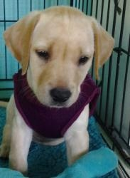 Ashely: Labrador Retriever, Dog; Roswell, GA