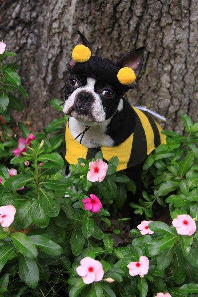 boston terrier in a bumblebee costume - Halloween Costumes In Boston