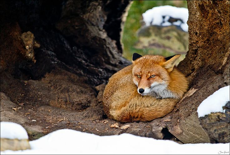 18 Best Kawaii Foxes Images On Pinterest