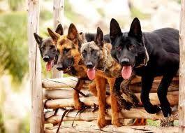 cani da lavoro militare