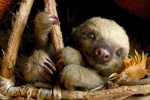 These Baby Sloths Are Adorable—So Why Are We Standing By While They're Kidnapped?