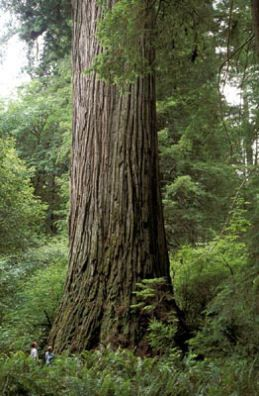 """Didn't notice how tall this was until the guy said look at the two people standing at the bottom! OH! Got it.     (""""Del Norte Titan"""" in the Jedediah Smith Redwoods State Park, California (© Robert Van Pelt)."""