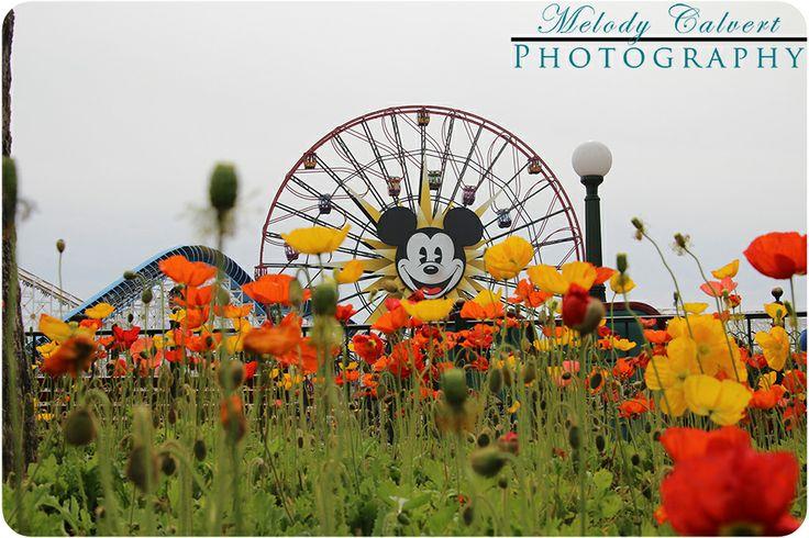 Poppies at the Pacific Pier in Disney's California Adventure, The Disneyland Resort, Anaheim, CA