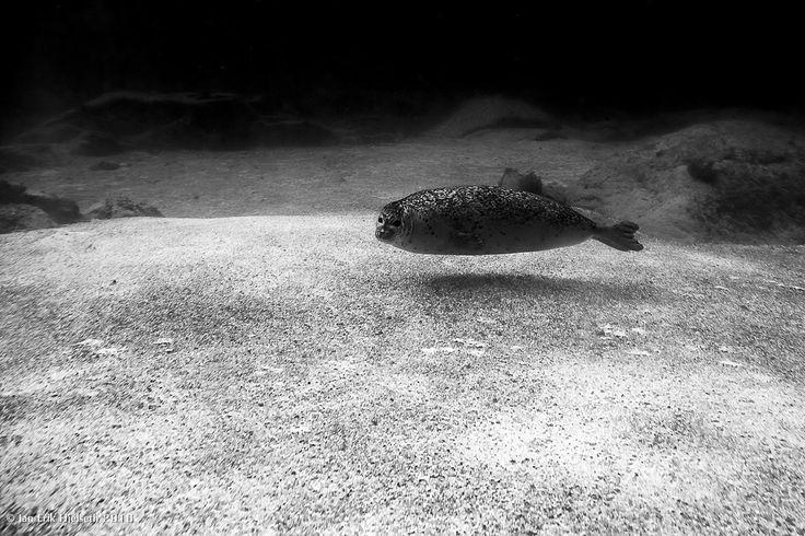https://flic.kr/p/EPYQZt   seal   seal at Atlanterhavsparken aquarium - Norway