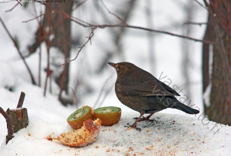 mustarastas syömässä - mustarastas Turdus merula rastas lintu talvi naaras ruoka hedelmä kiiwi lumi musta syödä luonto eläin rannikko ruokinta