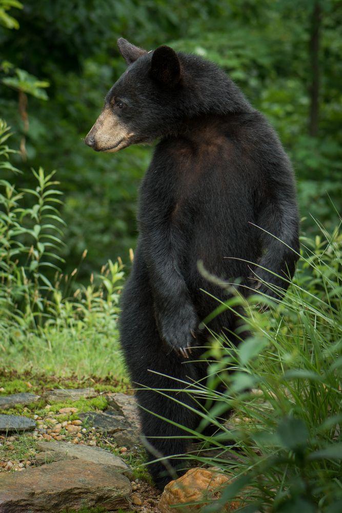 Best 25 Black Bear Ideas On Pinterest Cute Bears Bears