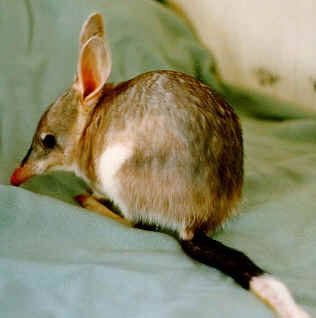 brush-tailed bettong