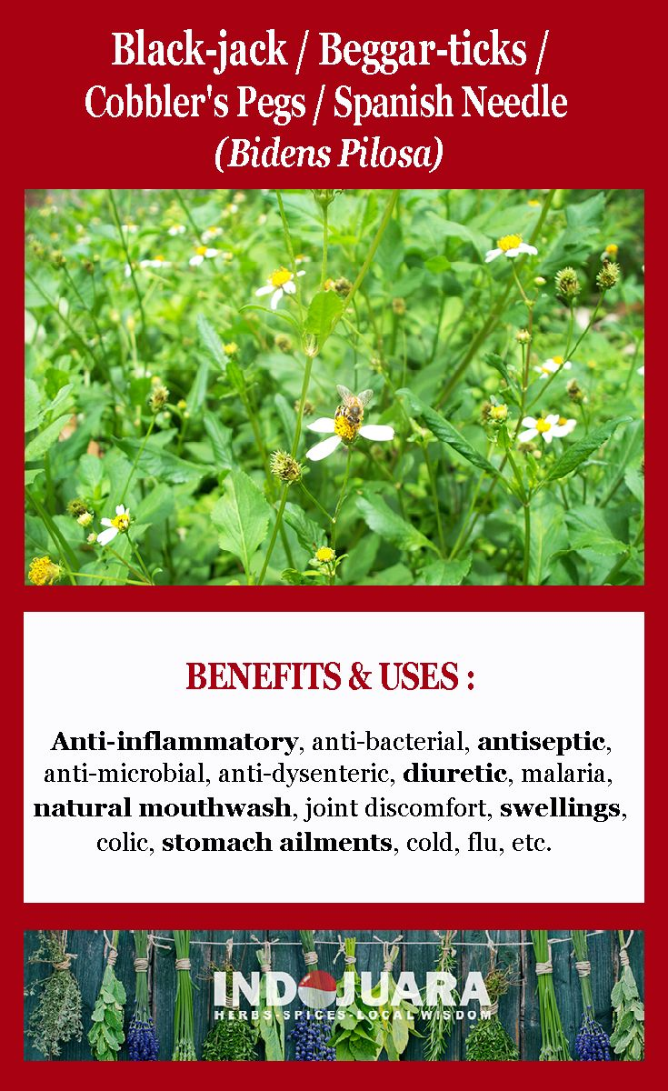 Anti-inflammatory, antibacterial, antiseptic, antimalarial, antimicrobial and antidysenteric properties, diuretic, natural mouthwash, sore gums and mouth, joint discomfort, swellings, colic, stomach ailments, cold, flu, worms, flatulence, blood clotting, etc #BidensPilosa #SpanishNeedle #driedherbs #herbalremedies #herbaltea #tea
