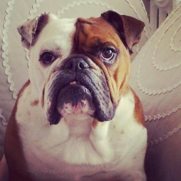 English bulldog Léon