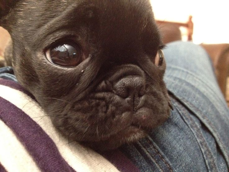 Boston Terrier and Pug Mix- My Bugg Puppy