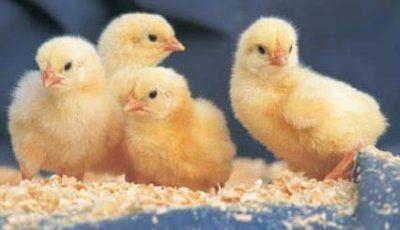Manuales cria de aves de corral pollos gallinas patos Aragua 29657489