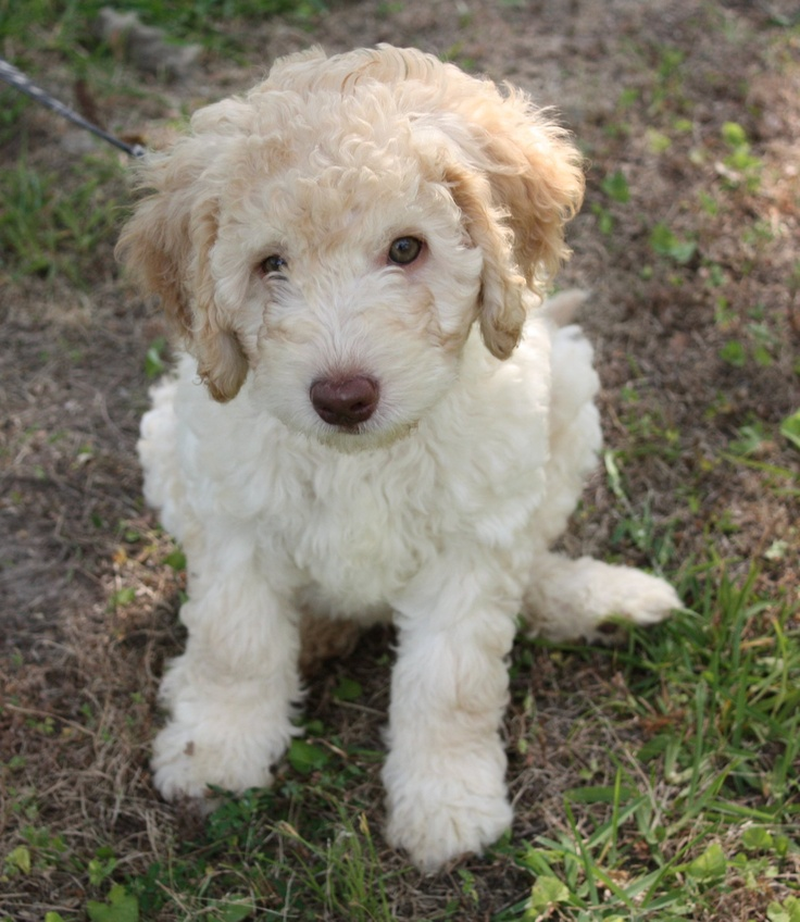 1000 Images About Miniature Labradoodles On Pinterest Miniature Labradoodle Australian
