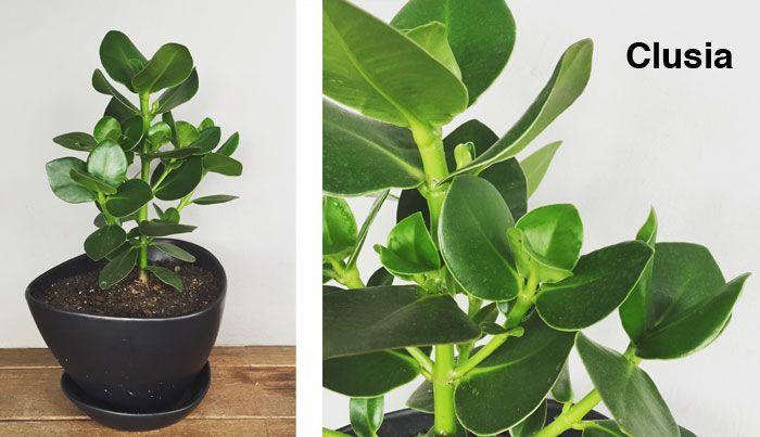 1000 ideas sobre clusia en pinterest plantas de casa - Ver plantas de interior ...