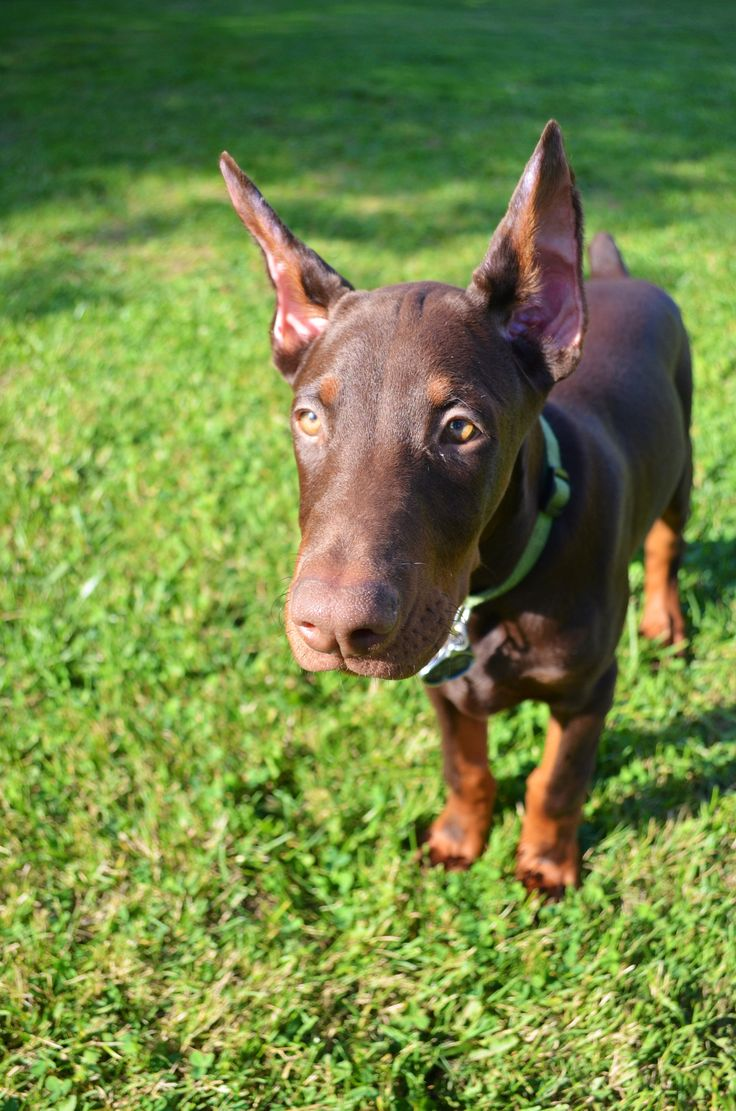 17 Best Images About Dobermans On Pinterest Beautiful