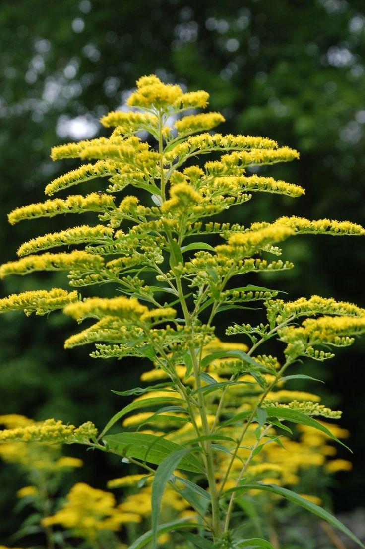 Goldenrod ...Nebraska State Flower