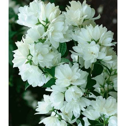 134 best white garden images on Pinterest Gardening, Plants and - baldur garten rosen