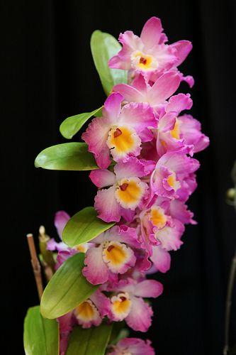 Dendrobium Orchids!