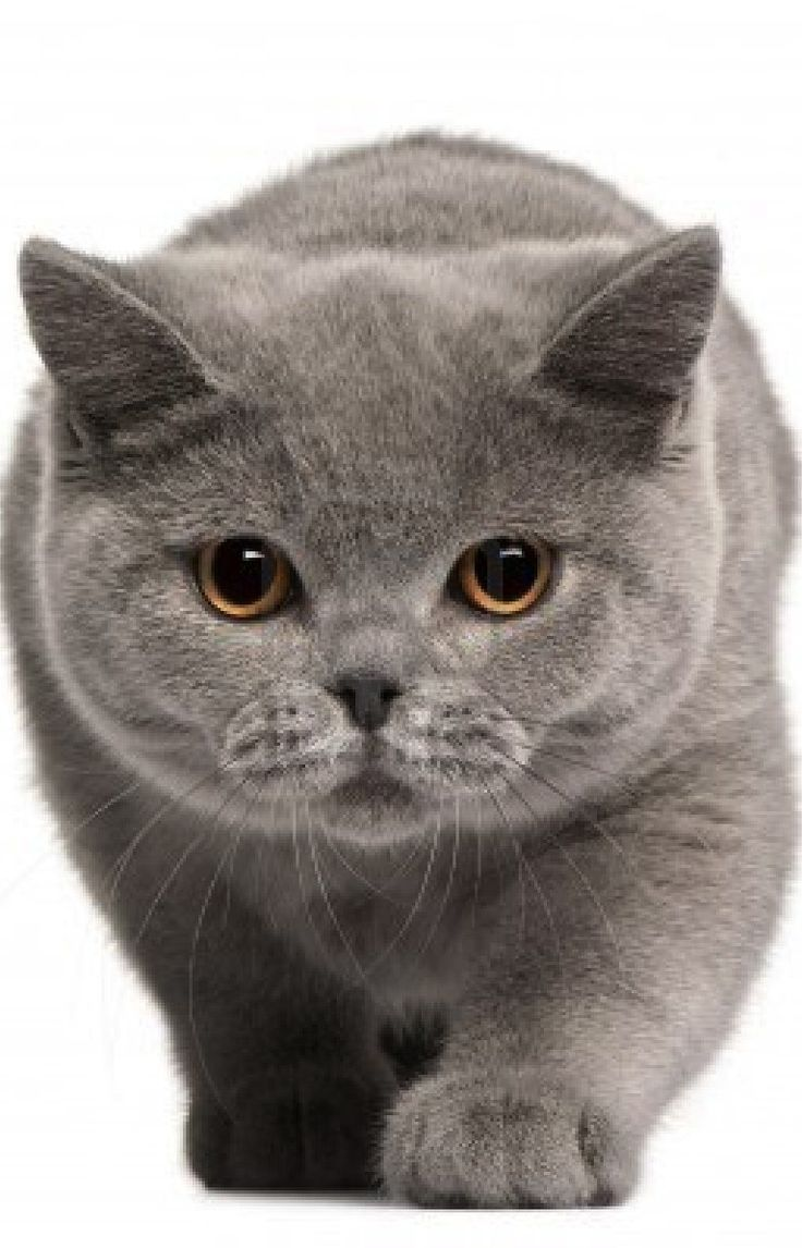 British Shorthair                                                       …