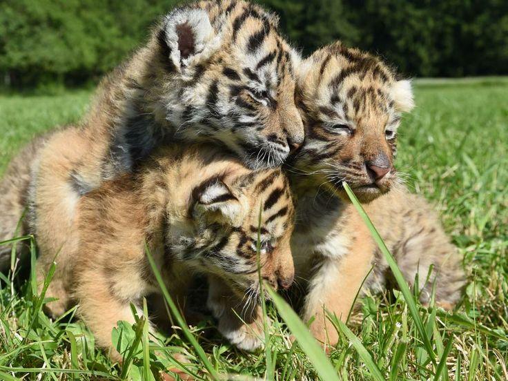 Drie Bengaalse tijgers van een maand oud genieten van de zon in de Berlijnse dierentuin.