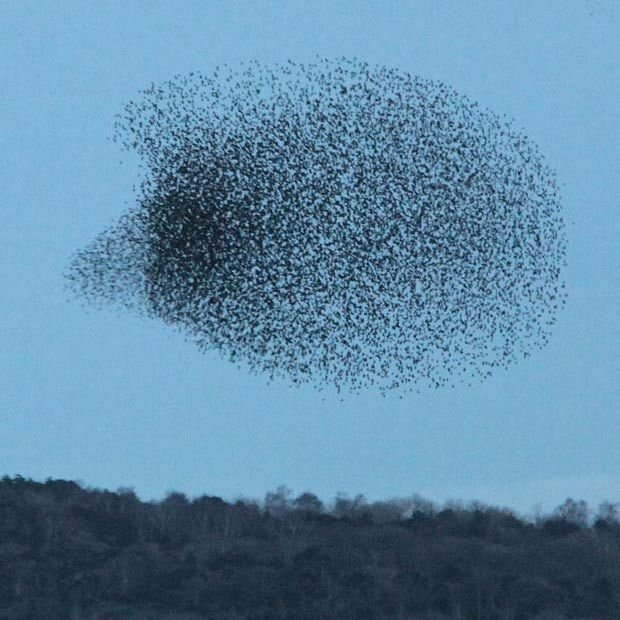 Starlings in flight