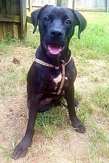 Pictures of Lacey a Labrador Retriever for adoption in Harrisville, RI who needs a loving home.