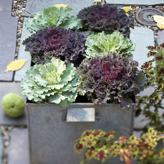 25 Best Ideas About Growing Cabbage On Pinterest: 25+ Best Ideas About Fall Planters On Pinterest