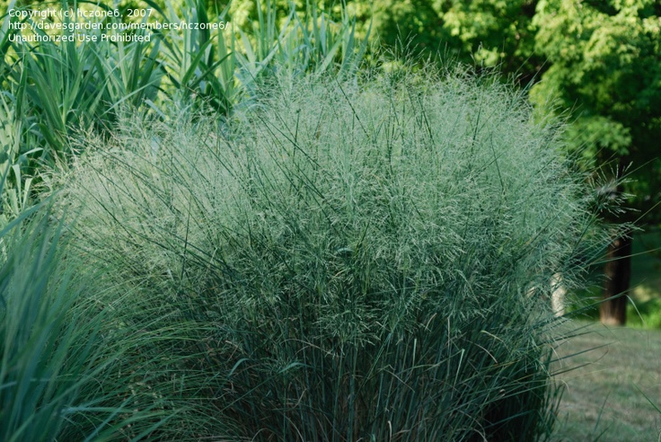 9 best images about panicum virgatum on pinterest for Tall ornamental grasses for shaded areas