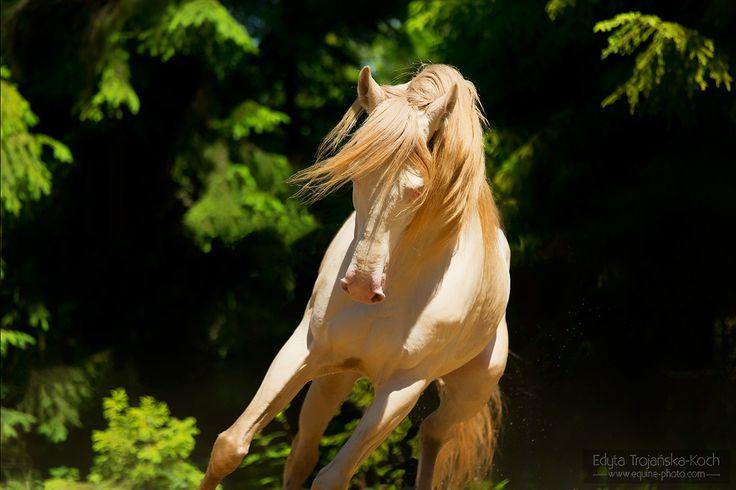 Andalusian stallion Bandolero
