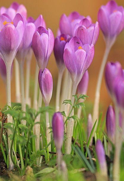 pinterest 상의 krokusse pflanzen에 관한 상위 25+개 아이디어, Gartengerate ideen