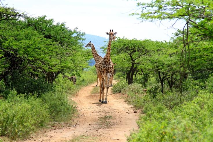 Giraffe family in Tala Private Game Reserve - near #Durban in KwaZulu-Natal, South #Africa
