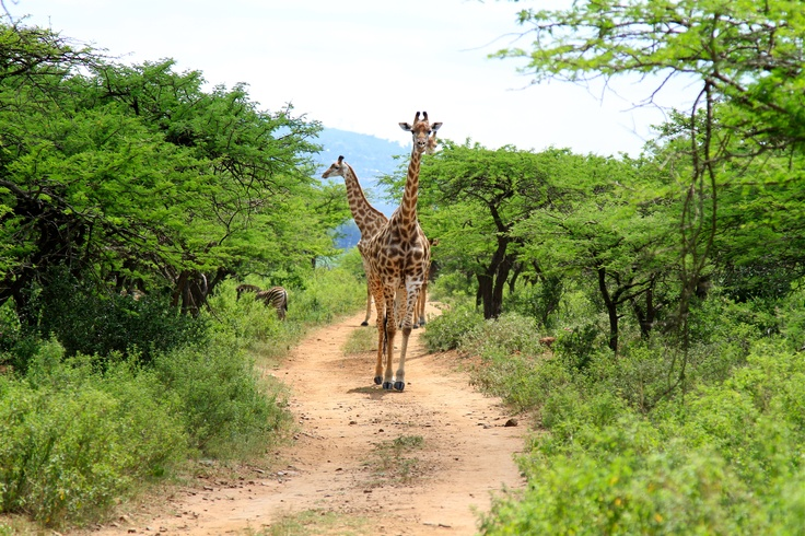 Giraffe family in Tala Private Game Reserve - near #Durban in KwaZulu-Natal, South #Africa