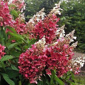 Hortensia - Hydrangea paniculata Pinky winky - Autres arbustes par Promesse de…